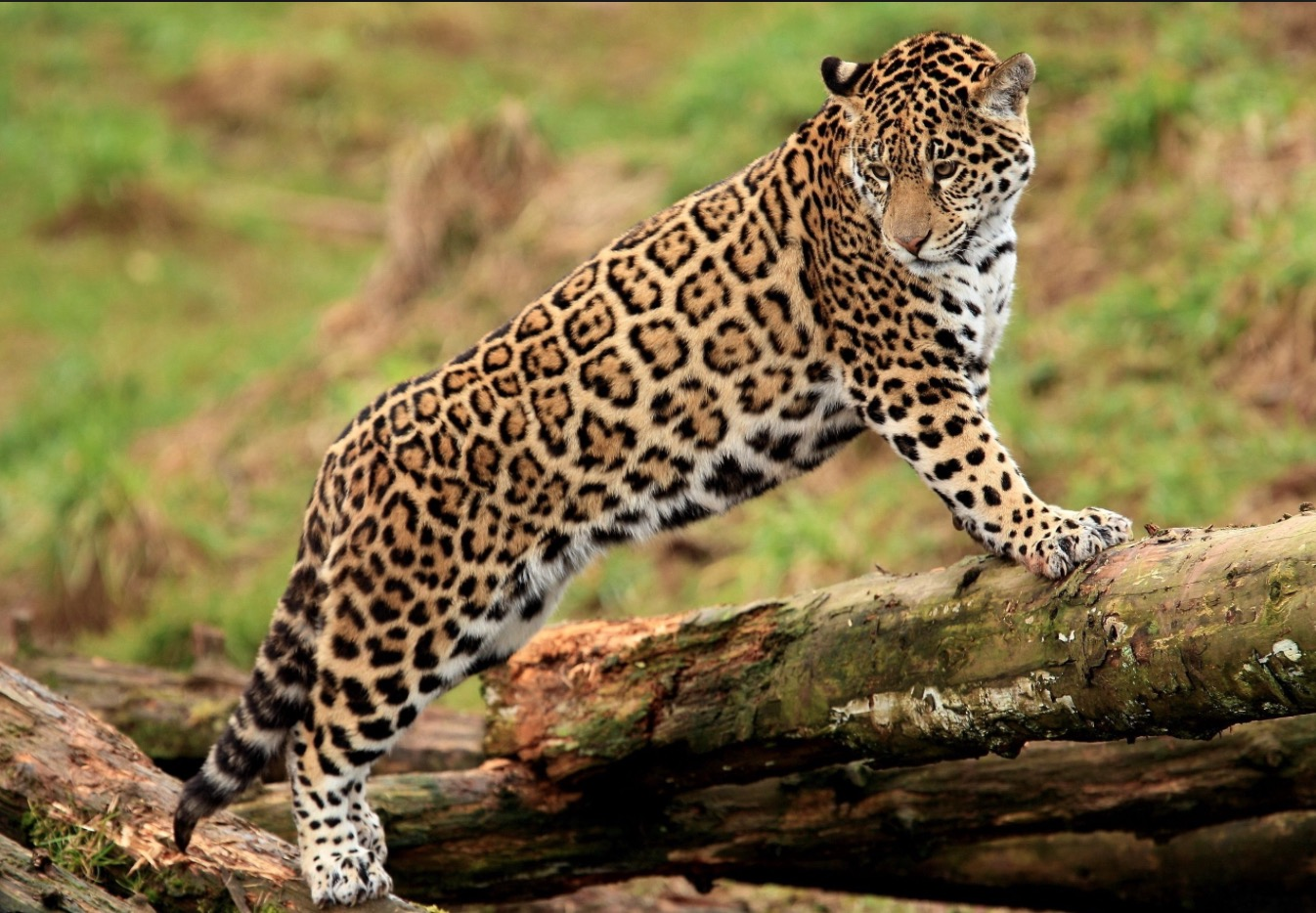 40-Panthera onca.JPEG