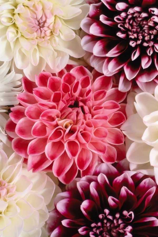 """Цветы картинка на телефон – Скачать бесплатно """"Цветы ...  Обои на Телефон Цветы"""